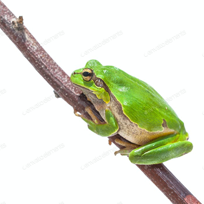 Clambering Green European Tree frog