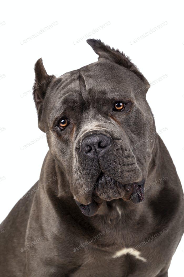 Cane Corso dog on white background. Close up