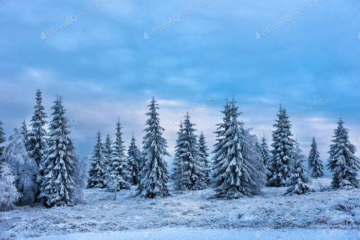 Beautiful winter landscape with snow covered trees. Christmas greetings concept