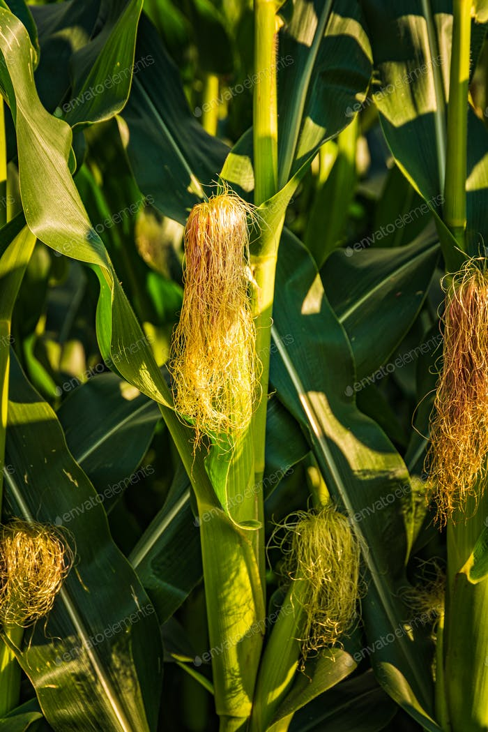 Young cob corn on the stalk. Maize field background