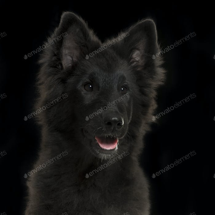 Close-up of a Greenland Dog puppy panting, 4 months old, on a black background