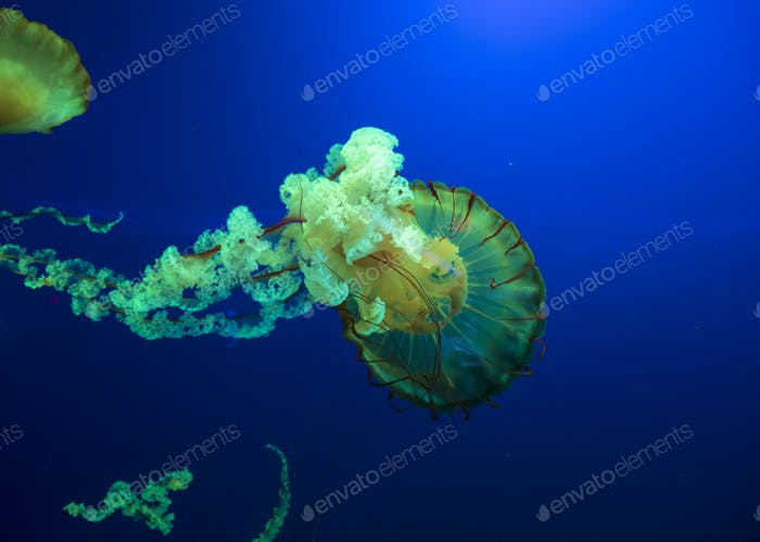Colorful glowing pacific sea nettle, chrysaora fuscesens in deep blue water.