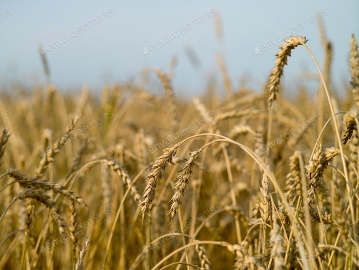Brotfeld einer neuen Ernte an einem sonnigen Tag