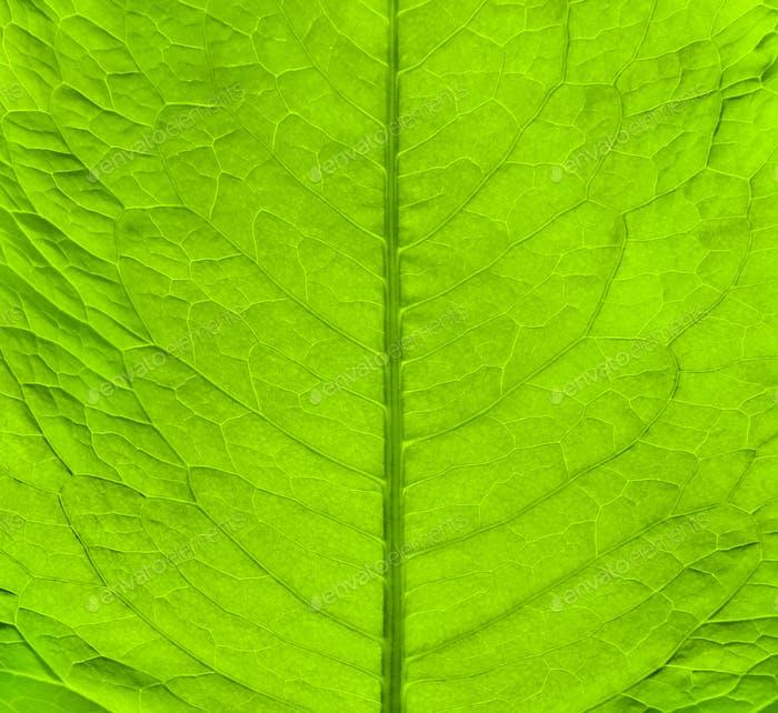Grüne frische Blattstruktur