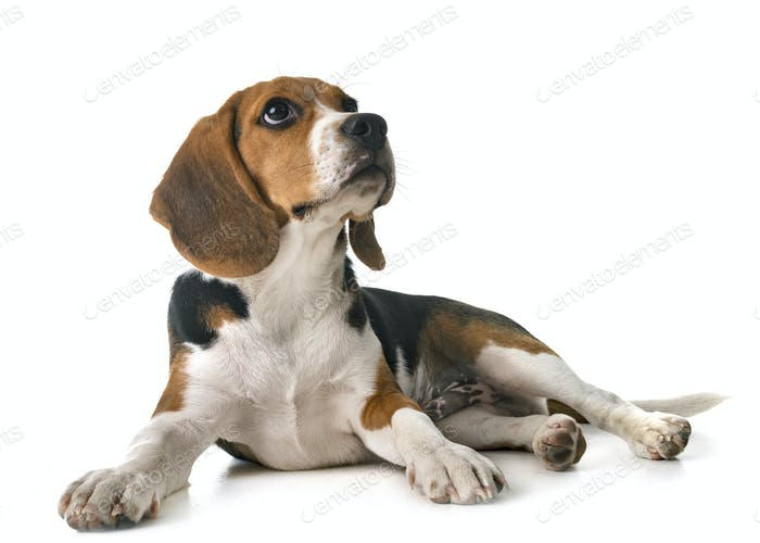 puppy beagle in studio