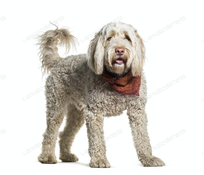 Portuguese Water Dog standing in portrait against white background