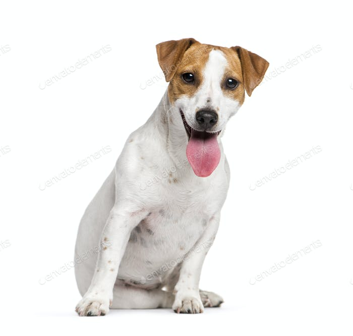 Sitting Jack Russell Terrier dog panting, isolated on white