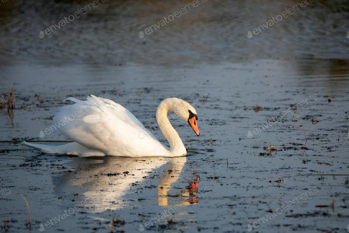 View of mute swan or Cygnus olor floats on water