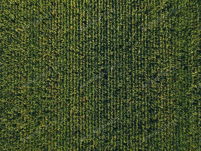 Aerial view of cultivated sweetcorn plantation, top view