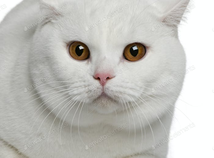 Close-up of British shorthair cat, 15 months old, in front of white background