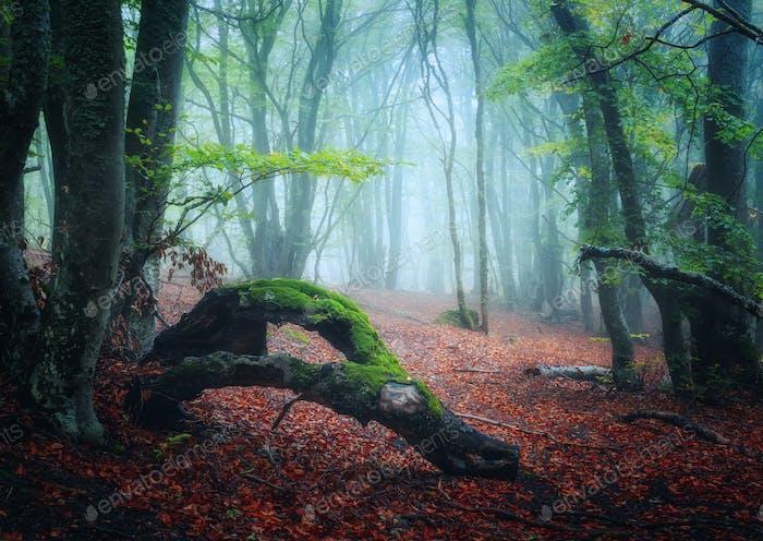 Gruseliger Herbstwald mit Spur im Nebel. Herbstfarben. Nebelbäume