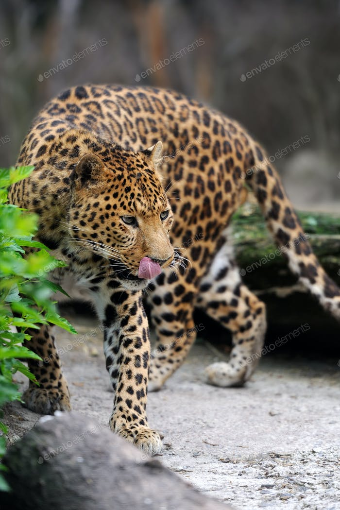 Leopard on nature