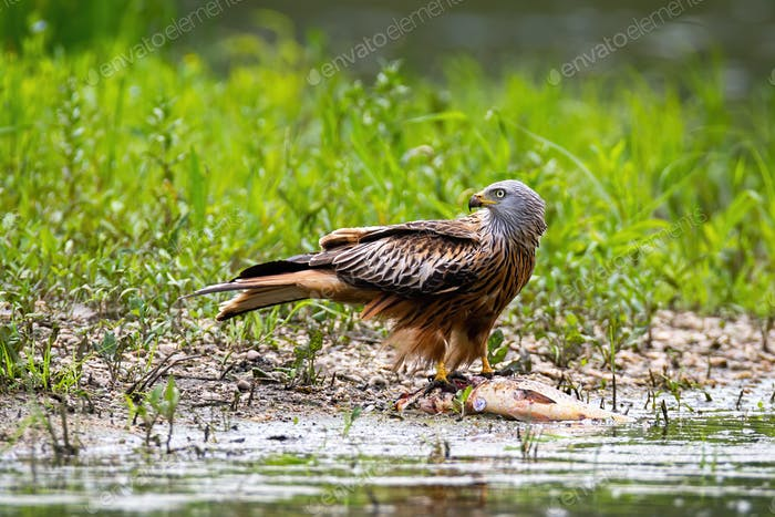 Red kite sitting on dead fish and feeding on riverbank in summer