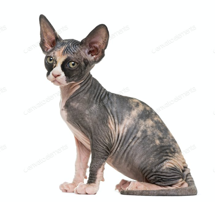 Sphynx kitten looking at the camera, isolated on white