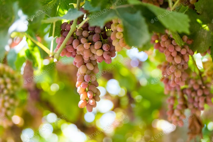 ripe grapes on vineyard in autumn