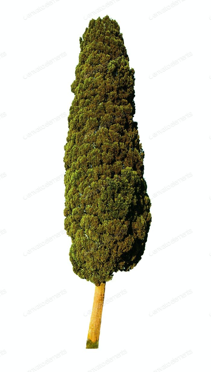 Italian Cypress Tree isolated on white background.