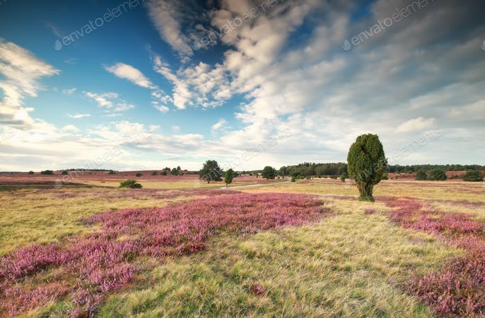 meadow with flowering heather and blue sky