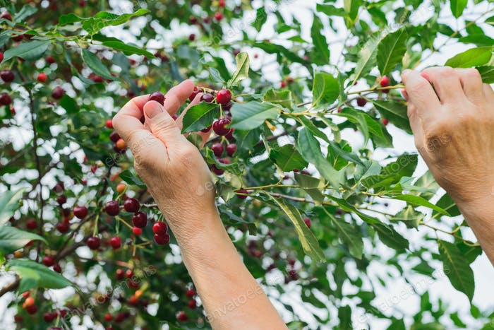 cherry harvesting by a woman