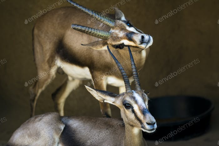 Two wild gazelles
