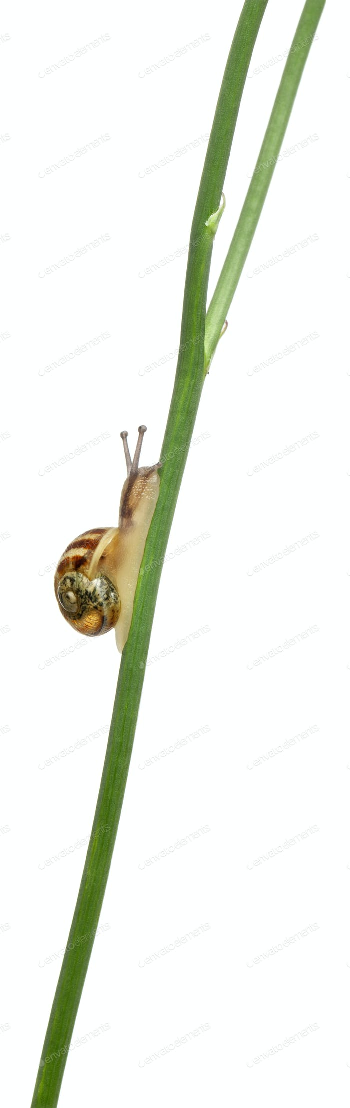 Garden snail, Helix aspersa, climbing stem in front of white background