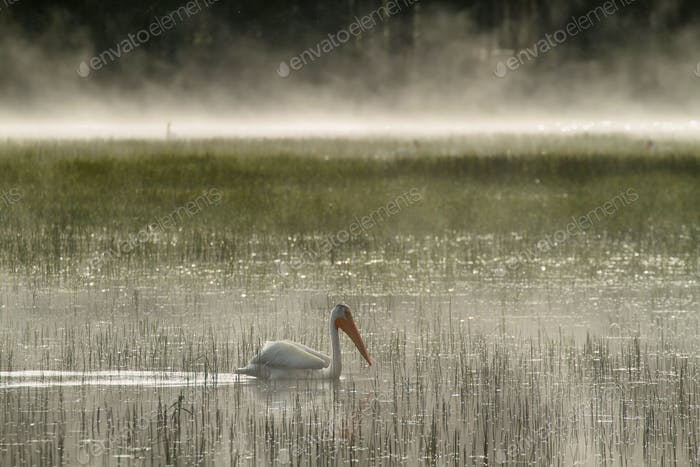 Great white pelican swimming on Elk lake