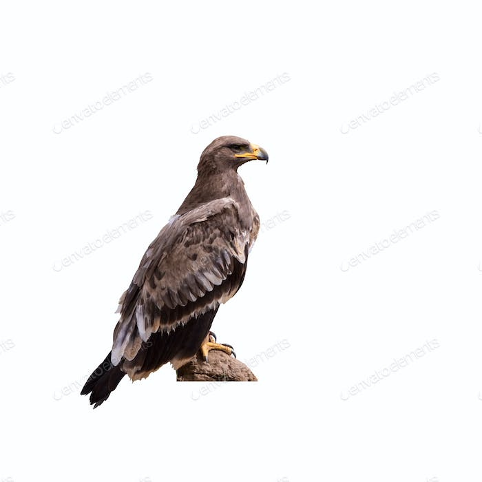 steppe eagle isolated