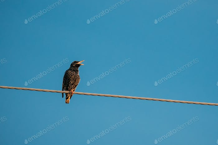 Wild Forest Bird Common Starling Sitting In Wire And Singing In