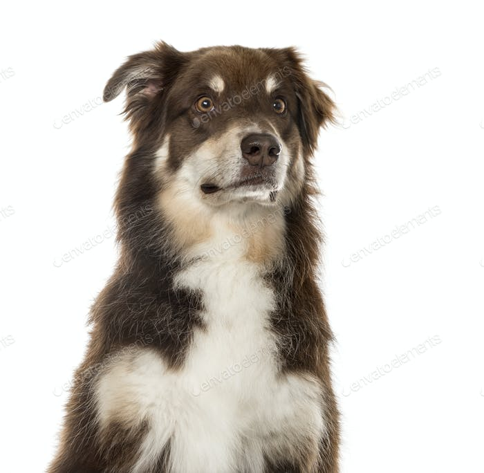 Close-up of an Australian Shepherd sitting and looking away, 6 years old, isolated on white