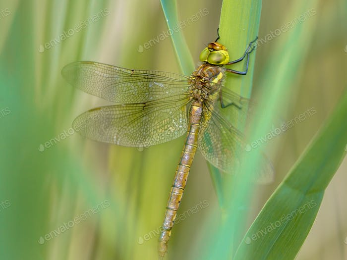 Green eyed hawker on  reed background