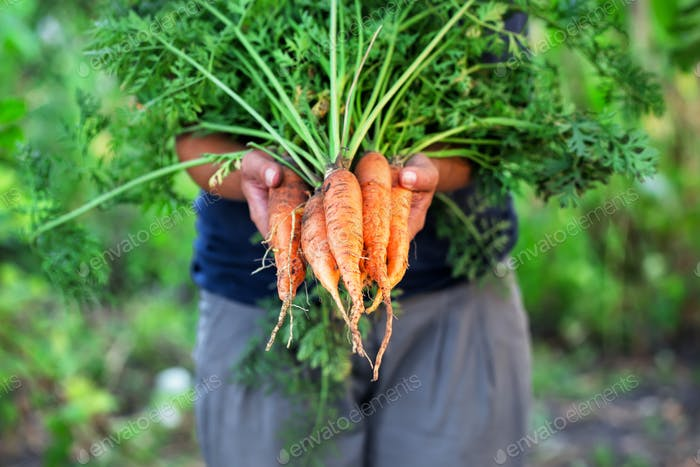 Carrot harvest in hands of woman farmer