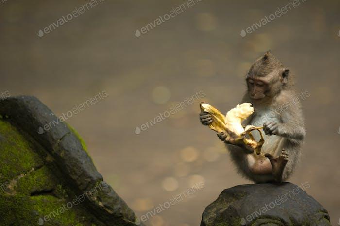 Bali monkey with banana