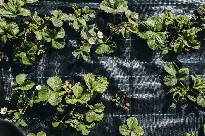 A bed under a black film with flowering and fruiting strawberry bushes.Sprouts strawberries in the