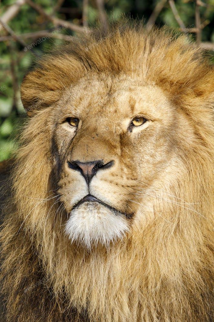 Close up portrait of a male lion (Panthera Leo)