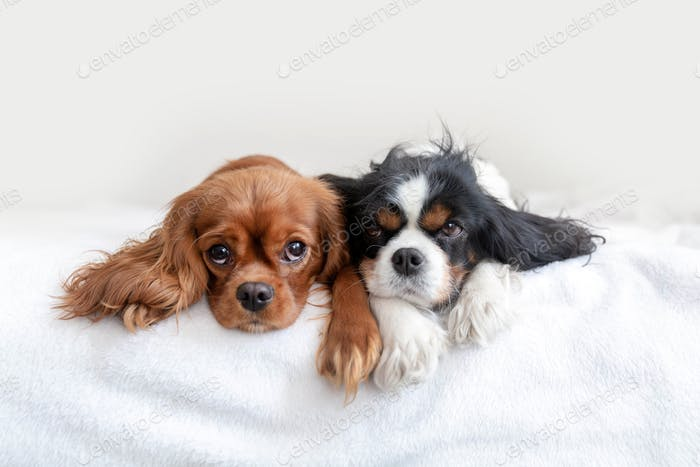 Two dogs lying together on the bed
