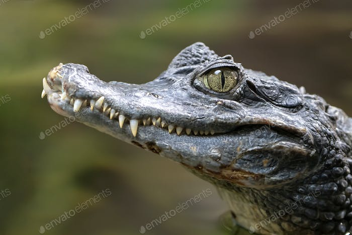 Spectacled caiman portrait