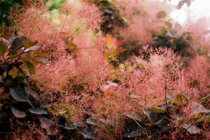 Cotinus 'smoke bush'