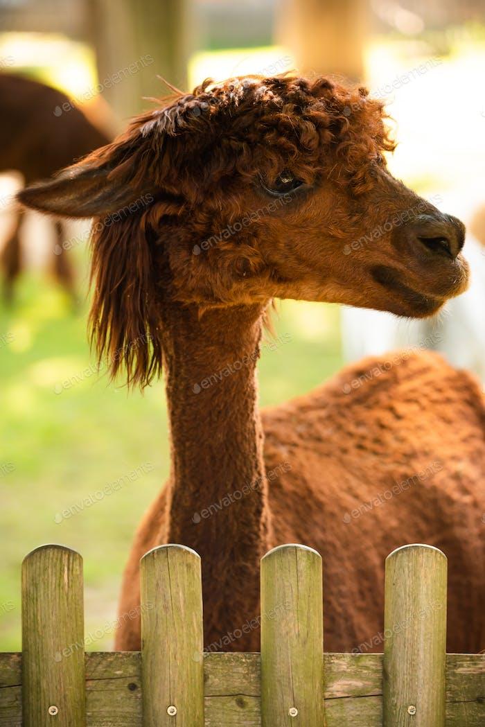 Furry brown lama in zoo Austria Styria Herberstein tourist destination autumn time