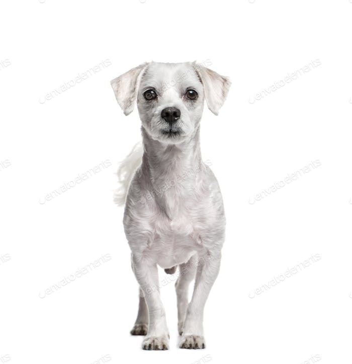 Standing Maltese dog, isolated on white