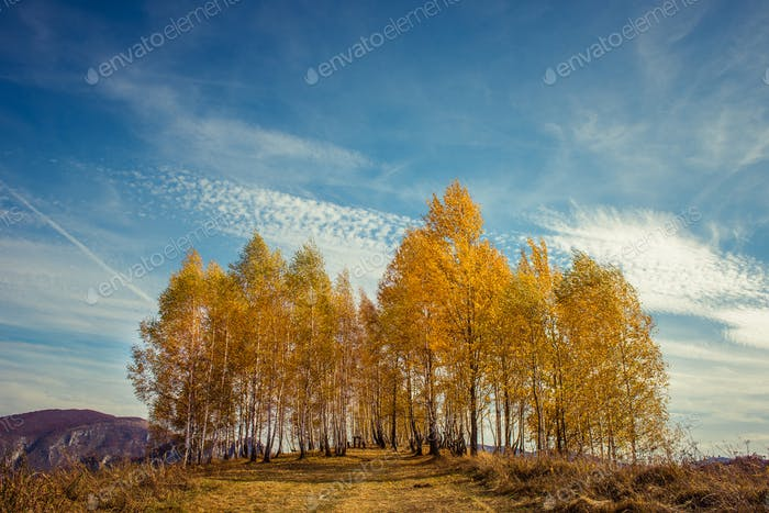 Autumnal landscape with yellow birch trees
