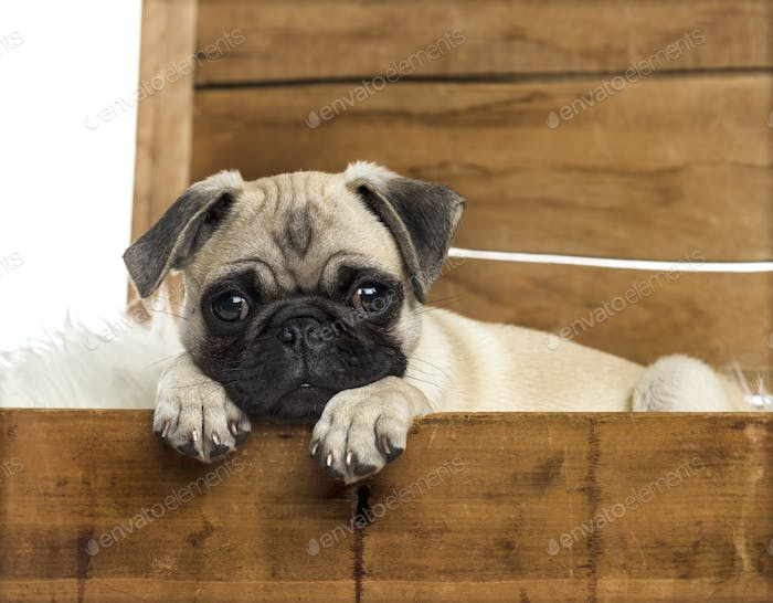Close-up of a pug in a wooden chest, isolated on white