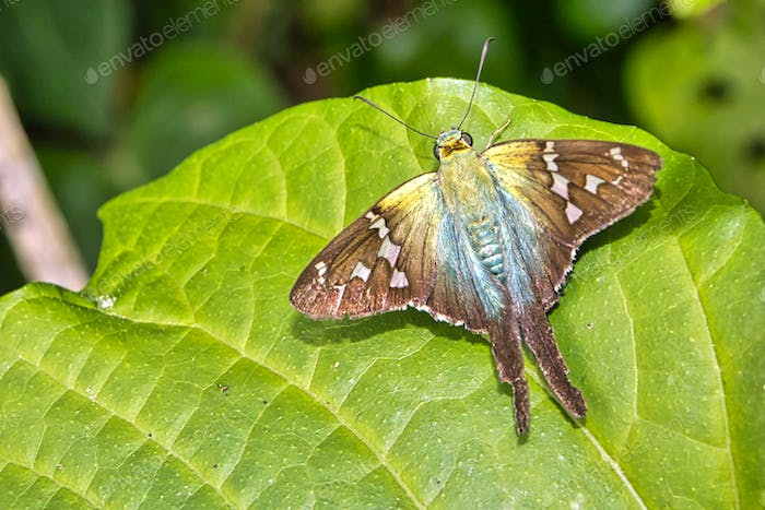 Tropical Butterfly, Tropical Rainforest, Costa Rica
