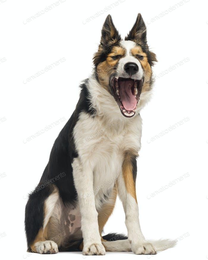 Border collie sitting, yawning, isolated on white