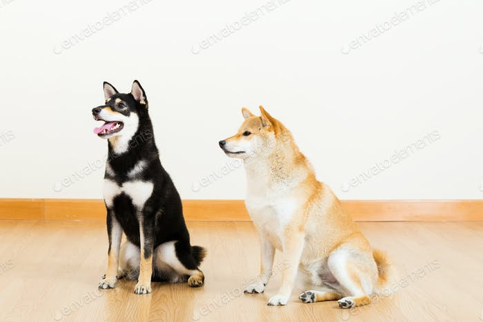 Two shiba at home and looking aside