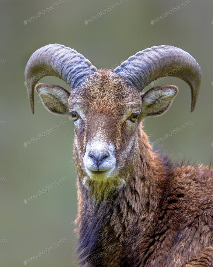 Portrait of Mouflon sheep male on hill
