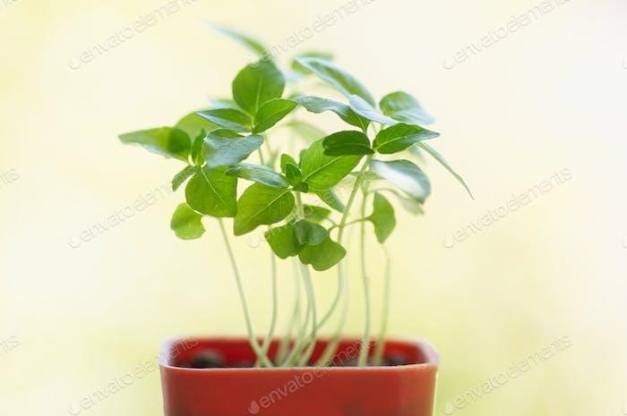 Pot of seedling of sweet basil