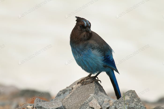 Steller's Jay at Crater Lake