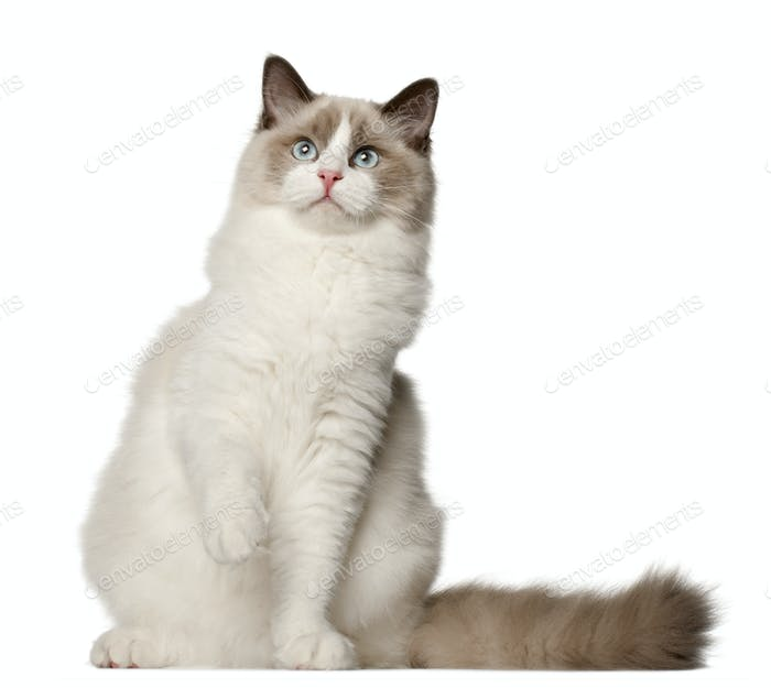 Ragdoll cat, 6 months old, sitting in front of white background