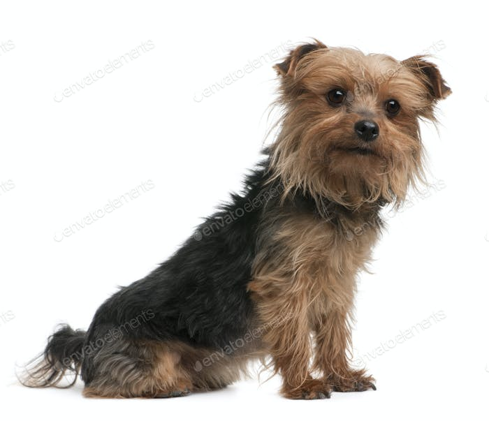 Yorkshire terrier, side view, looking away