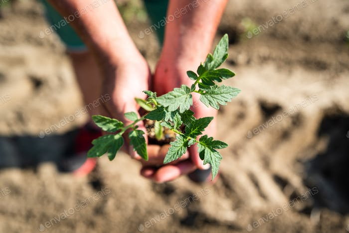 Hände halten Boden und Pflanze