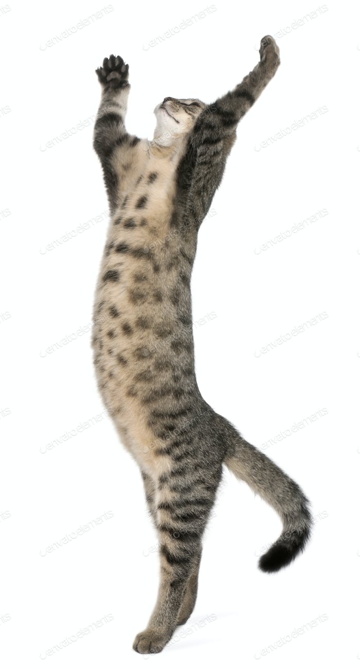 Mixed-breed cat, Felis catus, 6 months old, standing in front of white background